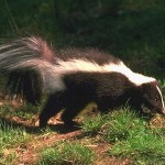 Skunks Carry Rabies